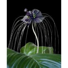 Seedeo Anzuchtset Fledermausblume (Tacca chantrieri) Bild 1