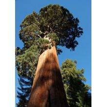 Seedeo Anzuchtset Berg,Mammutbaum (Sequoia. gigantea) Bild 1