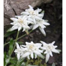 Alpenedelweiss, Anzuchtset von Naturkraftwerke Bild 1