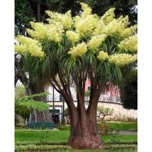 Seedeo Anzuchtset Flaschenbaumlilie - Elefantenfuß  Bild 1