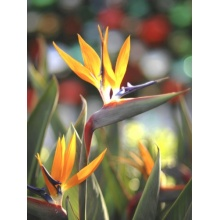 Seedeo Anzuchtset Paradiesvogelbl. Strelitzia reginae Bild 1